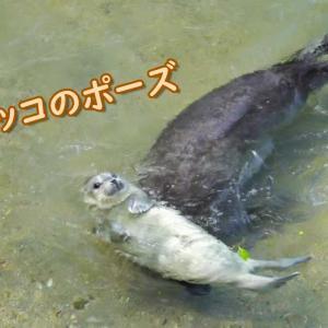 【みとしー】2021年4月に生まれたゴマフアザラシの赤ちゃん【動画】