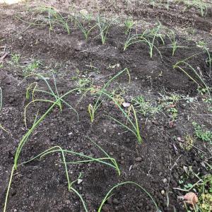 タマネギの植え付けなど