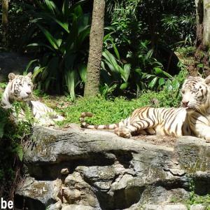 4度目のシンガポール訪問で初のシンガポール動物園へ