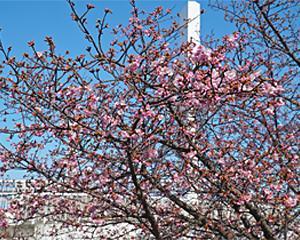 いろいろ日記:花だより 沼津あゆみ橋の桜