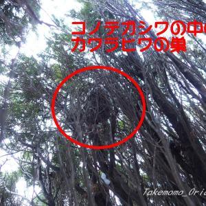 カワラヒワの巣を探してみたぞ(⌒▽⌒)♪