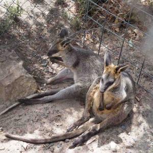 コフヌコアラパークでカンガルーに会うの巻