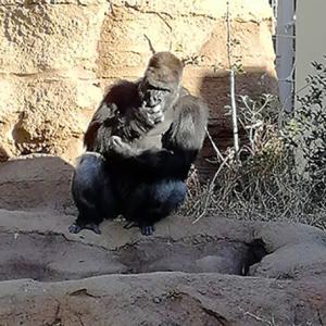 東山動物園でシャバーニを見てきました