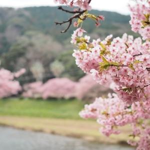 【河津桜】南伊豆にお花見に行ってきました!