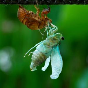 「セカンドライフ!」 いわき 白水阿弥陀堂にて撮影! 蝉の孵化