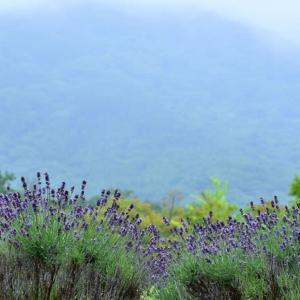 「蒼もしっとりと・・・」 いわき 高野花見山にて撮影! ラベンダーの丘