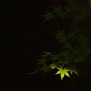 「まだ、青い!」 いわき 夏井川渓谷にて撮影! 椛
