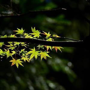 「まだまだ!」 いわき 夏井川渓谷にて撮影! 青い椛