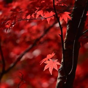 「盛秋!」 いわき 夏井川渓谷にて撮影! 椛
