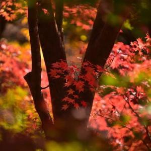 「夏井川の秋彩!」 いわき 夏井川渓谷にて撮影! 椛