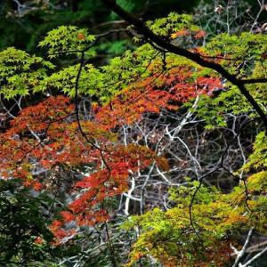 「半分以上、青い!」 いわき 夏井川渓谷にて撮影! 椛