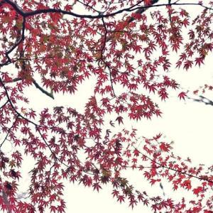 「仰ぎ見る紅葉」 いわき 夏井川渓谷にて撮影!