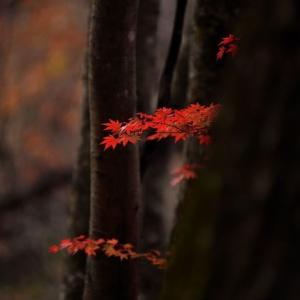 「燃えるような・・・」 いわき 夏井川渓谷にて撮影! 紅葉