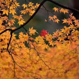 「散る前に赤くなれるかな」 いわき 夏井川渓谷にて撮影! 秋彩