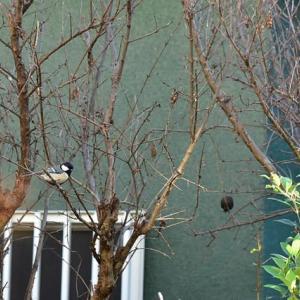 「冬枯れのザクロにて」 いわき 我が家の庭にて撮影! シジュウカラ