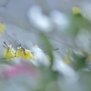 「早春の香り」 いわき フラワーセンターにて撮影! ソシンロウバイ