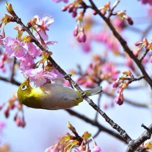 「甘い蜜は大好き!」 いわき 常磐共同火力 駐車場脇にて撮影! 河津桜とメジロ