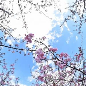 「春の跫(あしおと)!」 いわき 常磐共同火力の駐車場脇にて撮影! 河津桜