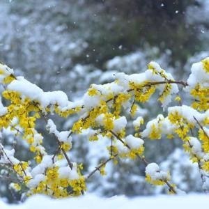 「レンギョウ雪かぶる」 いわき フラワーセンターにて撮影!