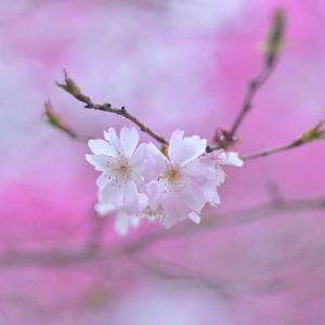 「十月桜微笑む!」 いわき 高野花見山にて撮影!