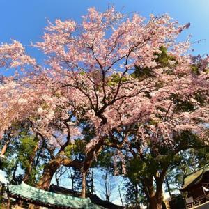 「研姿!枝垂れ桜」 いわき市 三島八幡神社にて撮影!