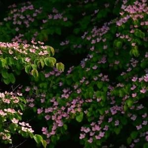 「サトミは美しく・・・」 いわき 高野花見山にて撮影! 赤いヤマボウシ