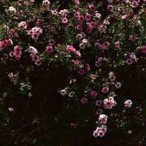 「八重は美しく・・・」 いわき 高野花見山にて撮影! ギョリュウバイ(魚柳梅)