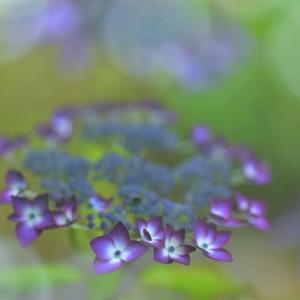 「初夏の陽射しの中で」 いわき 高野花見山にて撮影! ヤマアジサイ