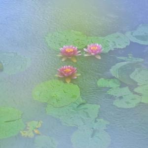 「歓喜の雨」 いわき フラワーセンターにて撮影! 睡蓮