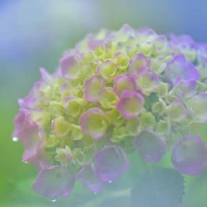「染め始めの紫陽花!雨に濡れて」 いわき フラワーセンターにて撮影!