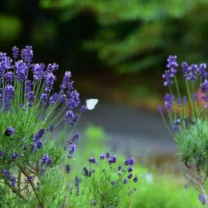 「ラベンダーに雨は降る」 いわき 高野花見山にて撮影! モンシロチョウとクマ蜂