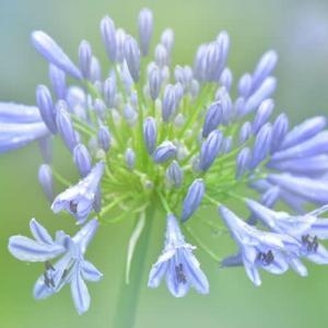 「咲き始め!紫君子蘭」 いわき フラワーセンターにて撮影! アガパンサス