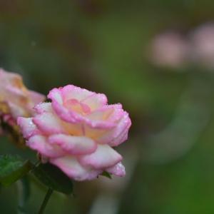 「わたし頑張っています」 いわき フラワーセンターにて撮影! ピンクのバラ