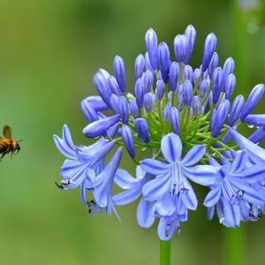 「雨上がりは忙しい」 いわき フラワーセンターにて撮影! アガパンサスと蜜蜂