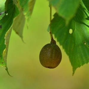 「可愛い実!」 いわき フラワーセンターにて撮影! ハンカチの木の実