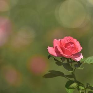 「晩夏の薔薇!」 いわき フラワーセンターにて撮影!