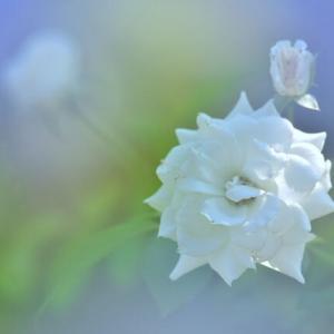 「晩夏の白いバラ!」 いわき フラワーセンターにて撮影!
