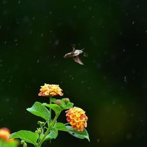 「雨の中でも忙しく・・・」 いわき フラワーセンターにて撮影! ランタナとヒメクロホウジャク