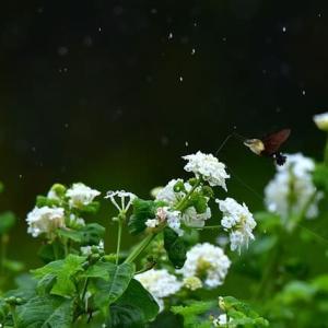 「こっちの蜜は甘いぞ」 いわき フラワーセンターにて撮影! ランタナとヒメクロホウジャク