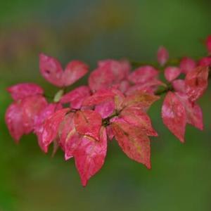 「雨に濡れにし・・・」 いわき フラワーセンターにて撮影! ニシキギの紅葉