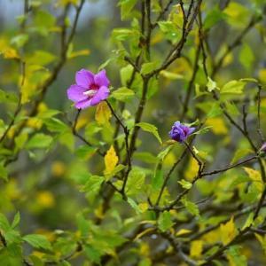 「まだ、咲いている!」 いわき フラワーセンターにて撮影! ムクゲ