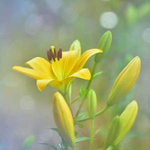 「霧に咲く!」 いわき 高野花見山にて撮影! ハイブリッドのユリ