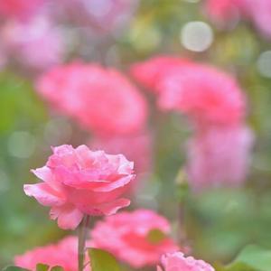 「仲間と共に・・・」 いわき フラワーセンターにて撮影! ピンクのバラ