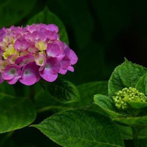 「順次咲く!」 いわき フラワーセンターにて撮影! 紫陽花