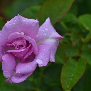 「梅雨時のバラ!」 いわき フラワーセンターにて撮影!