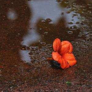 「彼の夏は終わった」 いわき フラワーセンターにて撮影! ノウゼンカズラの落花