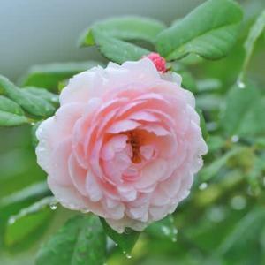 「雨上がりのバラ」 いわき フラワーセンターにて撮影!