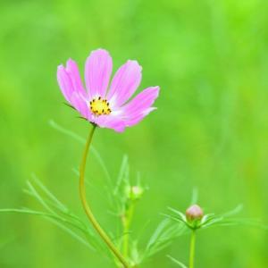 「美しく咲く!」 いわき 高野花見山にて撮影! コスモス