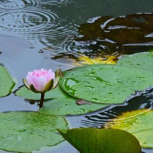 「秋雨の中で・・・」 いわき フラワーセンターにて撮影! 睡蓮