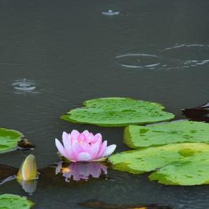 「秋雨の中で・・・②」 いわき フラワーセンターにて撮影! 睡蓮